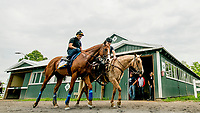 ELMONT, NY - JUNE 07: Justify walks back from the track after galloping as horses prepare Thursday for the 150th running of the Belmont Stakes at Belmont Park on June 7, 2018 in Elmont, New York. (Photo by Scott Serio/Eclipse Sportswire/Getty Images)