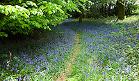 A profusion of bluebells carpet the woods near Nettlebed, Oxfordshire, England, each Spring.