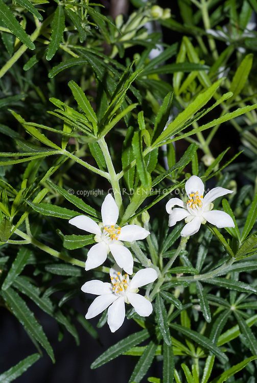 Choisya White Dazzler ('Londaz') in spring bloom with white flowers