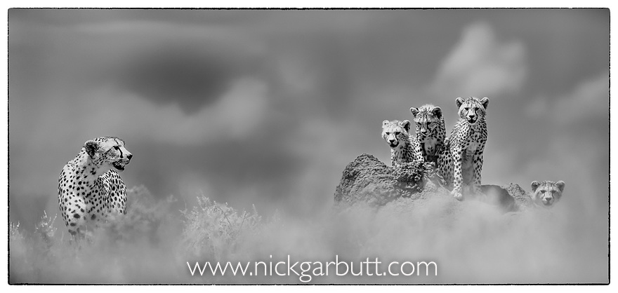 Female cheetah with cubs (Acinonyx jubatus) (around 16 weeks old) on termite mound. Short grass plains of the Serengeti / Ngorongoro Conservation Area (NCA) near Ndutu, Tanzania.