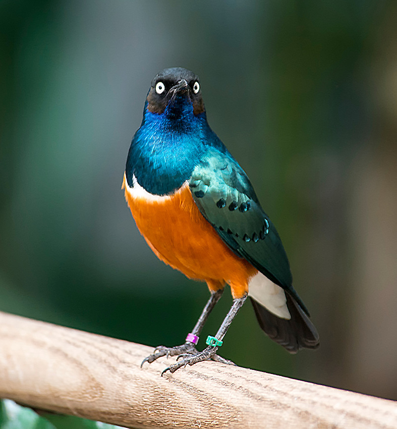 The Superb Starling (Lamprotornis superbus) is native to east Africa. Here photographed at the San Diego Safari Park.