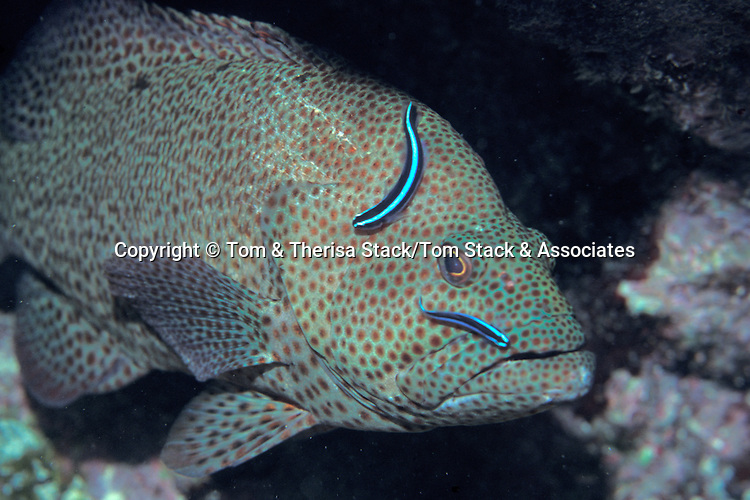 Neon Gobys cleaning grouper