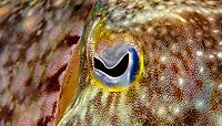 Broadclub cuttlefish, Sepia latimanus, eye close-up, Kapalai Island, Sabah, Borneo, Malaysia, Celebes Sea, Pacific Ocean