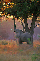 African elephant bull (Loxodonta africana) feeding on acacia tree limbs and leaves--right now smelling leaves, etc. with trunk.  When he finds right spot he will stand up and break off a limb.  Early morning at Mana Pools National Park, Zimbabwe.  Se also 3ME1088, 3ME1056, 3ME1329.