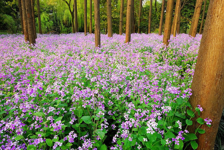 Beautiful scenic view of forest covered with attractive purple flower. China landscape fine art photography by Paul Chong.<br /> <br /> Throughout the year, some of the most beautiful scenery can be seen around West Lake especially during the flower blooming seasons such as; Peach Blossom from February to April, Lotus from early June to August, Osmanthus from early September to November, Plum Blossom from during early spring and Tulip from March to April. This phenomenon has been a great attraction for many tourist, family and especially photographer to come all year round.