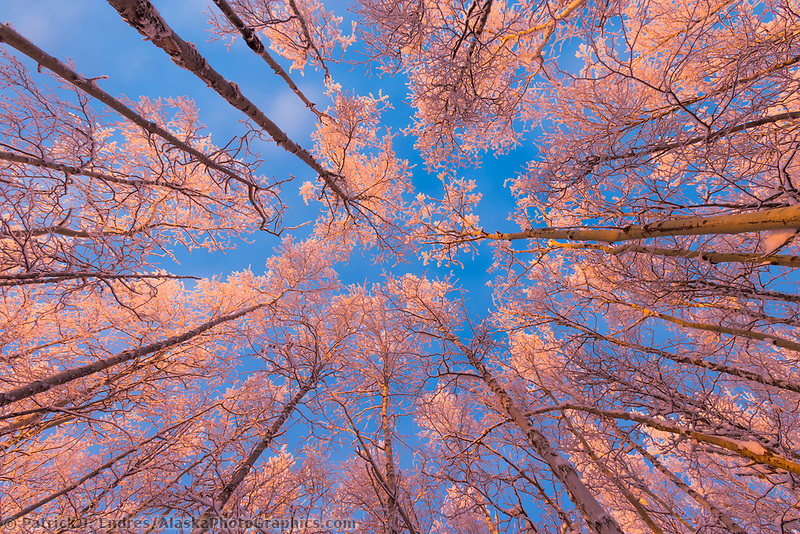 Pink sunrise light falls on frosty birch and aspen trees of the boreal forest on a December morning in Fairbanks, Alaska.