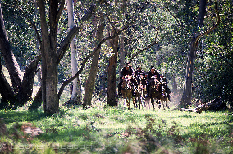Stockmen, or Mountain Cattlemen, racing through forest on horseback. Mt Buller area, Snowy Mountains, Victoria