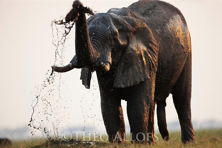 Botswana, Chobe National Park, Savuti; African elephant bull (Loxodonta africana) taking mud bath