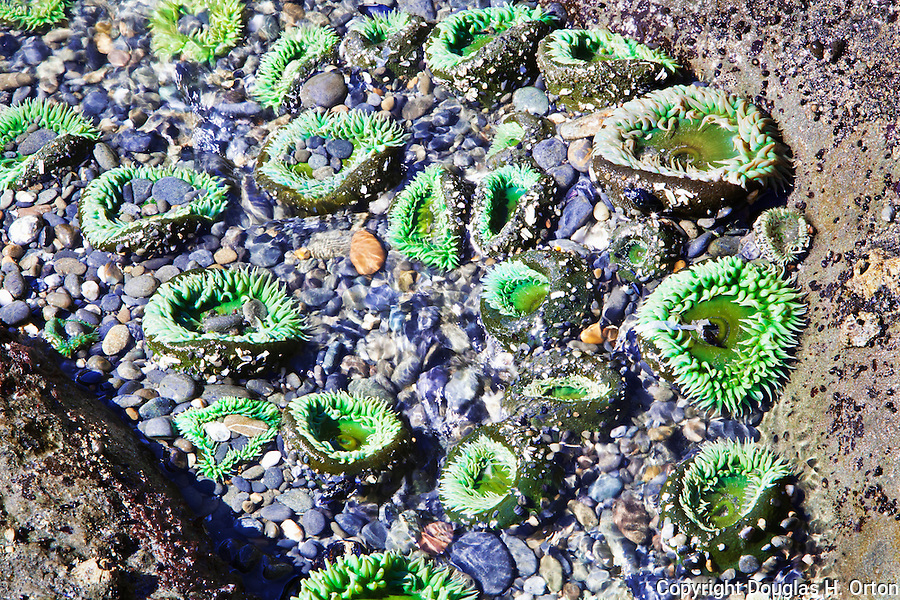 Tide Pool with Anemones, Kalaloch, Beach 4.  Beaches in the Kalaloch area of Olympic National Park, identified by trail numbers, are remote and wild.  Olympic Peninsula, Olympic Mountains, Olympic National Park, Washington State, USA.
