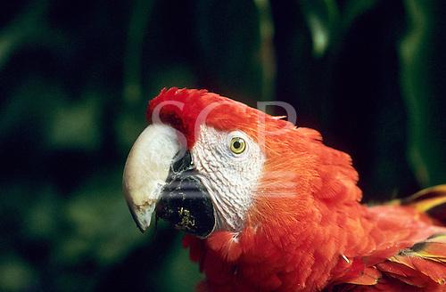 Amazon. Scarlet macaw (Ara macao).