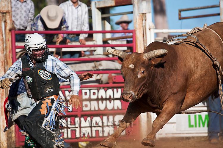 A bull rider runs away from his bull after being bucked.  Mt Garnet Rodeo, Mt Garnet, Queensland, Australia