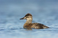 Adult female Ruddy Duck (Oxyura jamaicensis). Alberta, Canada. May.