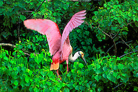 579008559 a wild roseate spoonbill ajia ajia perches in mangrove trees along an estuary on the texas gulf coast