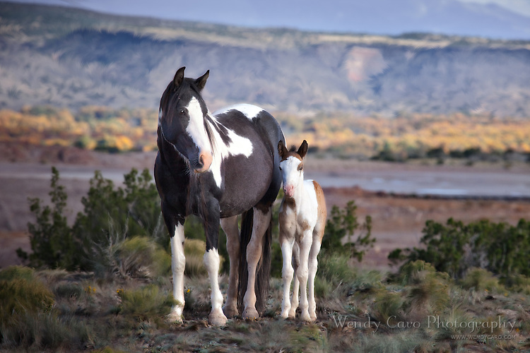 Wild paint mare and her foal, in the Placitas region around Albuquerque, New Mexico