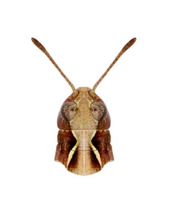 Mottled Grasshopper - Myrmeleotettix maculatus - male