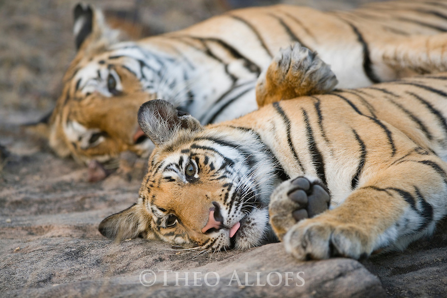 Bengal tigress with her 11 months old cub resting in open area, late afternoon, dry season