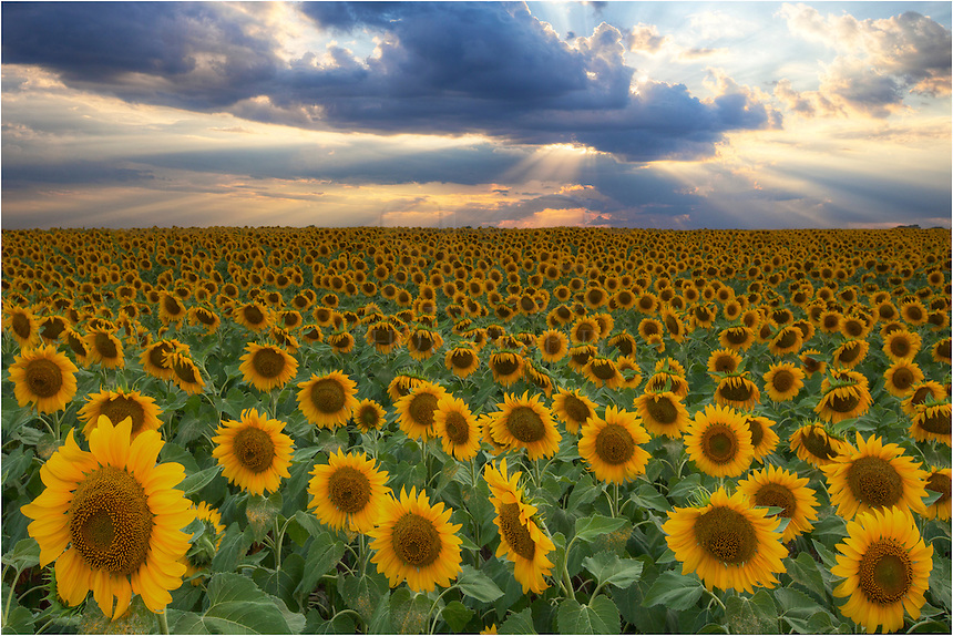 On a lonely dirt road in the middle of nowhere, this vast field of sunflowers bathes in the evening light of a Texas sunset. This was one of the most spectacular fields of Texas wildflowers I've ever seen, and I visited this site - three hours from my home - several times over the course of a week always hoping for light. This sunset exceeded my expectations, and I left knowing I had seen nature at its finest.