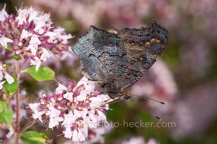 Tagpfauenauge, Blütenbesuch, Nektarsuche auf Wildem Dost, Oreganum, Origanum, Flügel-Unterseite, Tag-Pfauenauge, Aglais io, Inachis io, Nymphalis io, peacock moth, peacock