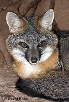 1118-0805  Gray Fox in Desert Underground Resting in Den, Urocyon cinereoargenteus © David Kuhn/Dwight Kuhn Photography