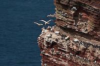 Vogelfelsen auf Helgoland, Brutkolonien von Basstölpel, Trottellumme und Dreizehenmöwe, Sula bassana, Morus bassanus, northern gannet, Uria aalge, guillemot, common murre, Rissa tridactyla, kittiwake