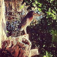 Little Green Heron, iPhone photo from the archives of Florida-based freelance photographer Brian Cleary.  (Photo by Brian Cleary/ www.bcpix.com )