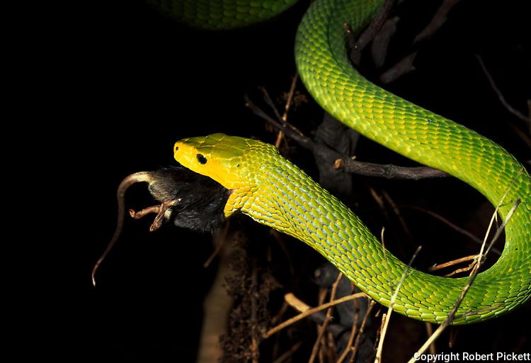 Green Mamba Snake, dendroaspis angusticeps, captive, feeding on mouse, prey, predation, eating, poisonous, venemous