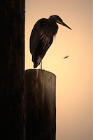 Great blue heron perched on a piece of wood