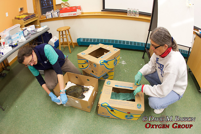 Veterinarian Kathryn Tuxbury  & Donna Cary With Stranding Sea Turtles In Boxes Ready For Transport, Welfleet Bay Wildlife Sanctuary, Audubon