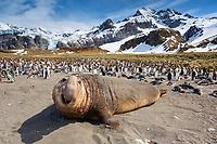 South Georgia Island, Gold Harbor, Southern elephant seal (Mirounga leonina)