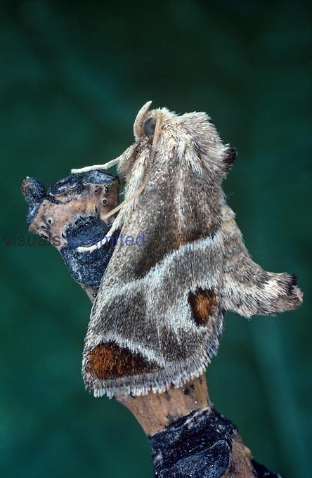 Slug-Caterpillar Moth (Apoda biguttata), Family Limacodidae, Ohio, USA.