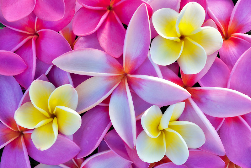 Red and yellow plumeria or frangipani. Kauai, Hawaii.