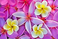 Red and yellow plumeria or frangipani. Kauai, Hawaii.