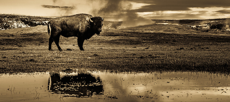 A Bison pauses in front of Old Faithful Geyser