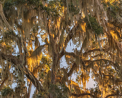 An old mossy oak tree backlit by sunrise light along the shores of the St. John's River.