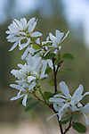 Syringa is the Idaho state flower. It grows wild and is actually a flowering bush, which blooms a delicate white flower during the months of April and May.