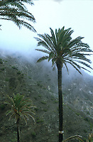 Palm tree in the clouds,La Gomera, Canary Islands.