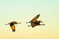 Birds: Cranes, Rails, others _Gruiformes