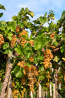 White grapes on the vines in the vineyards of  Hajos (Hajós) Hungary