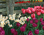 "Skagit County, WA               <br /> Bright pink and purple tulips pair with daffodils under a weathered grey fence in the Roozengaarde garden ""Courtesy of the Washington Bulb Co. Inc."""