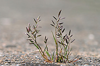 Kleines Liebesgras, Eragrostis minor, Poa eragrostis, lesser lovegrass, love grass, Little love grass, Little lovegrass, la Petite éragrostide