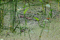 The photo of a small lake, at the beginning of the most usual natural trail in the WWF oasis of Alviano, that makes part of a meander in the Tiber river. Against the background of the vegetation in the lake, a frog is really looking into the objective, whereas there are at least three more of them, that are not so evident to be seen. Digitally Improved Photo.