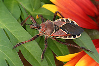 Assassin bugs are appropriately named because of their habit of lying in ambush for their insect prey.