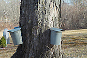 Buckets collecting sap from a Maple tree in New Hampshire.