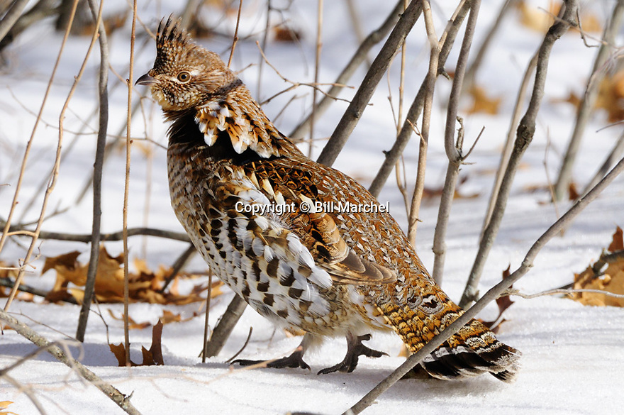 00515-071.01 Ruffed Grouse red phase bird is in heavy cover of hazel during winter.  Snow, hunt, cold, survive, catkins, ruff, feed.