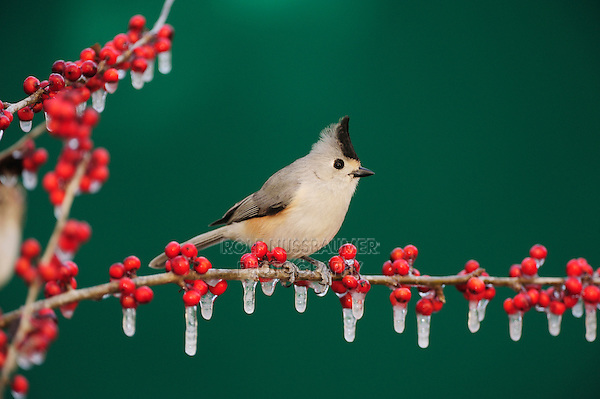 Black-crested Titmouse (Baeolophus atricristatus), adult on ice covered Possum Haw Holly (Ilex decidua) berries, New Braunfels, San Antonio, Hill Country, Central Texas, USA