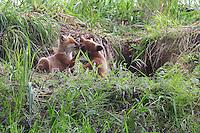Rotfuchs, Rot-Fuchs, Jungfuchs, Jungfüchse, Welpen vor dem Bau, Höhle, Fuchsbau, Fuchs, Vulpes vulpes, red fox, Le Renard roux, Renard commun, Renard rouge