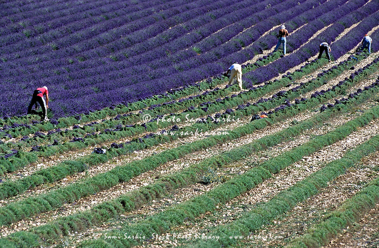 Workers harvesting lavender in a field.