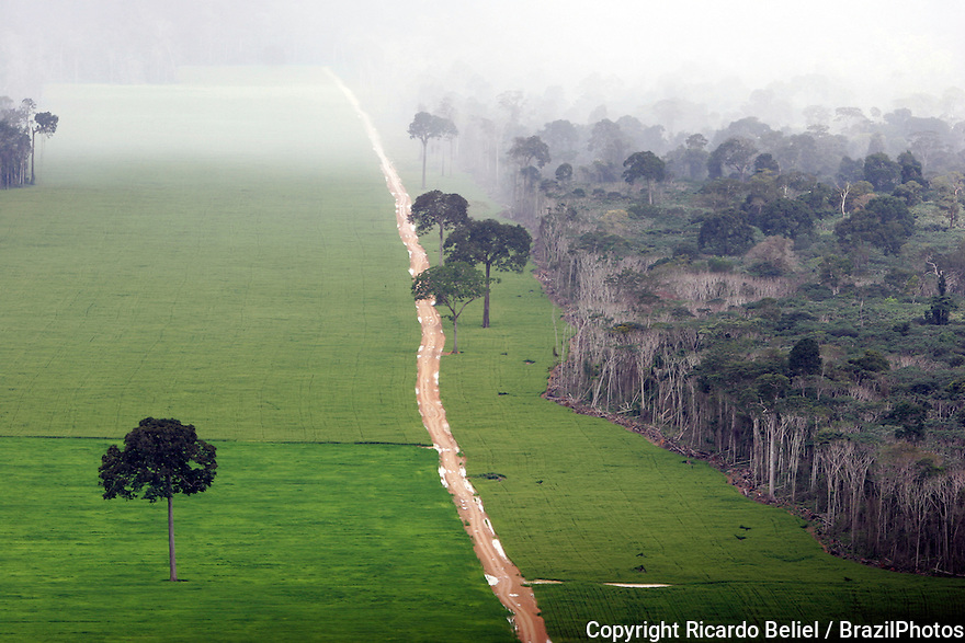 Soy plantation in Amazon rainforest near Santarem - deforestation for the agribusiness - economic development creating environmental degradation -  isolated Brazil nut trees sentenced to death. Opening of a road where before there was a forest.