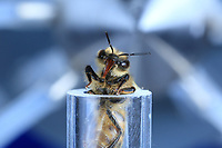 A bee in front of an odor gun. This technique allows for an association between an odor and a sugary reward. A sweet solution is applied to the antennas and the bee stretches out its proboscis, its little trunk. This odor-reflex association has brought to light the bees' capacity to remember odors and the time necessary to acquire olfactory memory. But also more complex learning: for example, an odor A is associated with a sugary solution and an odor B is not. Then, shortly after, it is reversed: the odor A is no longer associated with sugar but the odor B is. Result: the bee is capable of replacing the first signal by the new one.<br /> Une abeille installée devant un canon à odeur. Cette technique permet l'association entre une odeur et une récompense de sucre. 0n dépose une solution sucrée sur les antennes et l'abeille étire leur proboscis, la petite trompe. Cette association odeur, réflexe a permis de mettre en évidence la mémoire des abeilles aux odeurs et la durée nécessaire de l'acquisition d'une mémoire olfactive. Mais aussi des apprentissages complexes: par exemple qu'une odeur A est associée à une solution sucrée et qu'une odeur B ne l'est pas. Puis peu de temps après, la consigne est inversée ; l'odeur A n'est plus associée au sucre mais l'odeur B l'est. Résultat: l'abeille est capable de remplacer la première consigne par la nouvelle.