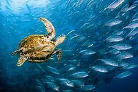 Green Sea turtle, Chelonia mydas, and jacks, mabul, Malaysia